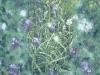 fritillary-field